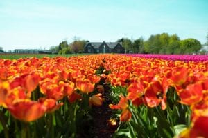 Tulips in the Netherlands - Independent Expat Finance